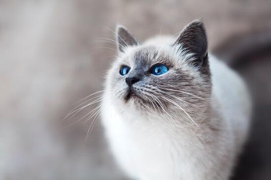 Biały kot z niebieskimi oczami
