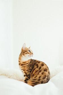 Kot rasy bengalskiej