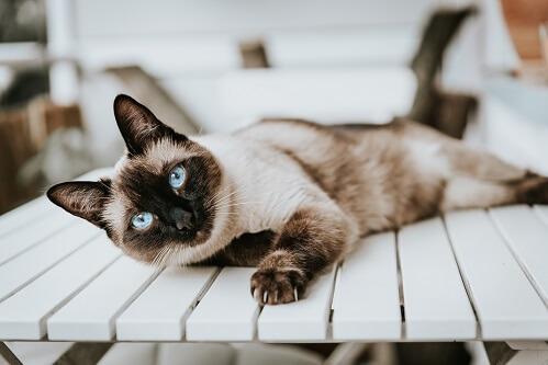 Kot rasy syjamskiej