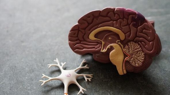 Mózg model