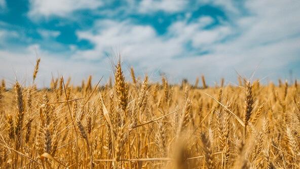 Zboże pszenica