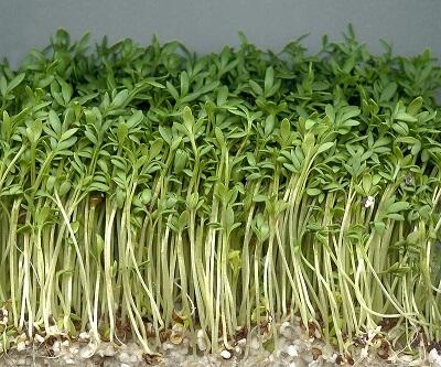 Roślina rzeżucha