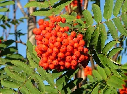Owoce jarzębu pospolitego