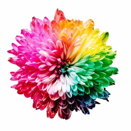 Kwiat w kolorach tęczy